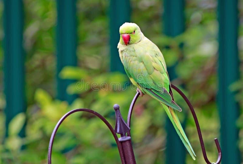 Parrocchetto verde con il collo dell'anello appollaiato su un alimentatore dell'uccello immagini stock libere da diritti