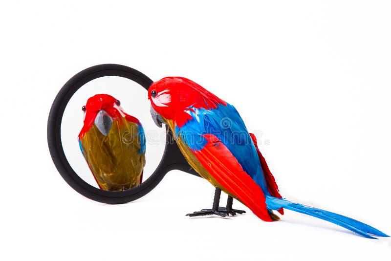 Parrot смотреть в зеркало стоковые фото
