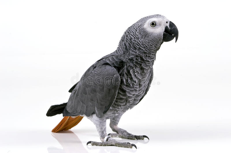 Download Parrot stock image. Image of playful, grey, exotic, image - 10674963