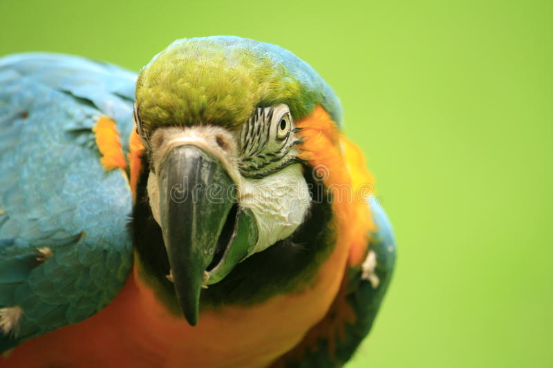 Download Parrot stock image. Image of blue, eating, parakeet, close - 11957845
