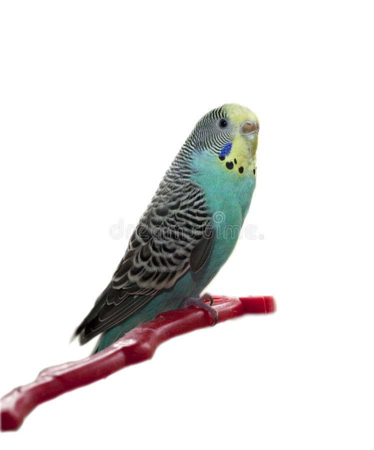 Parrot. Beautiful parrot isolated on white