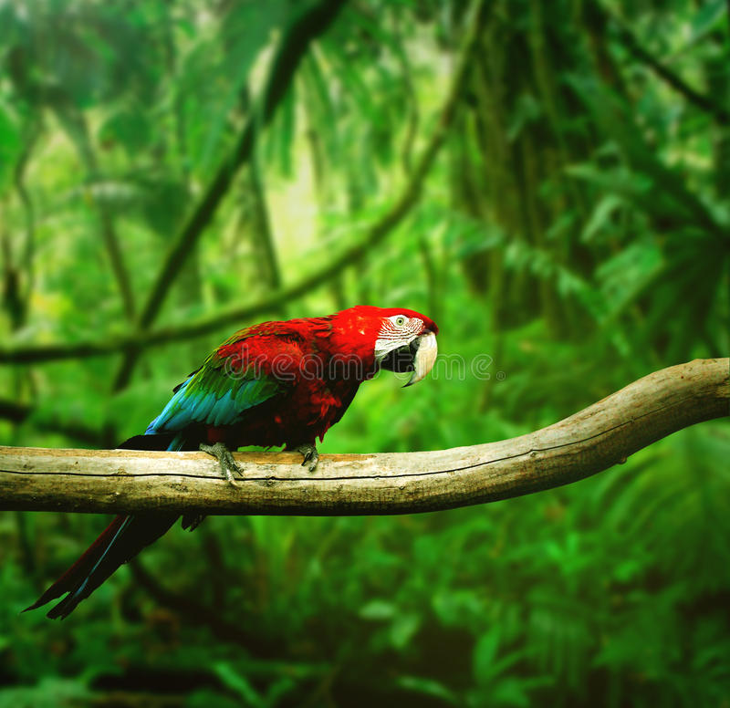 Parrot. In the rain forest royalty free stock image
