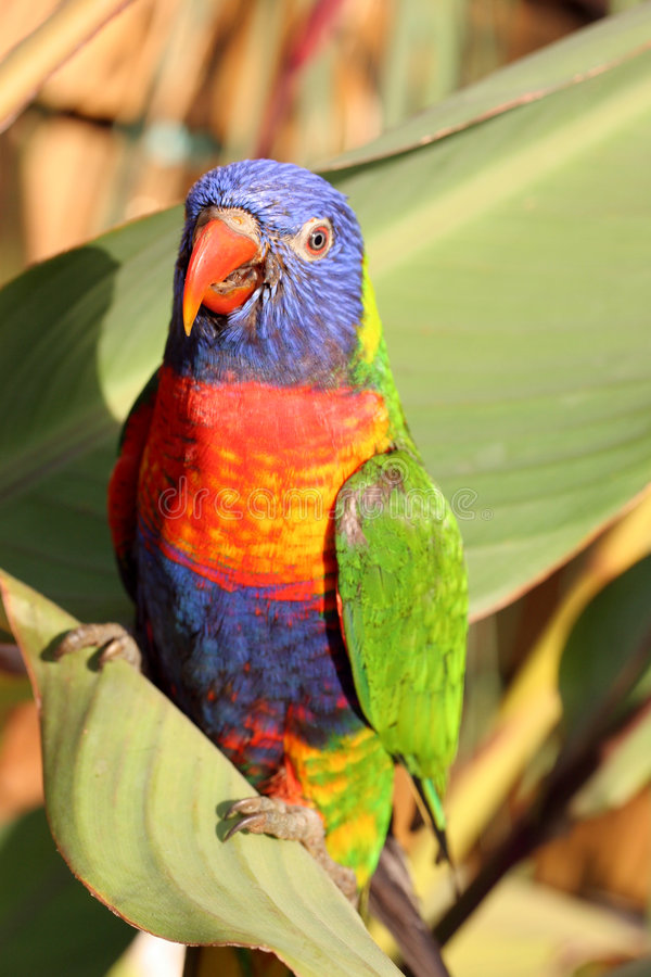 Free Parrot Royalty Free Stock Photography - 1914667