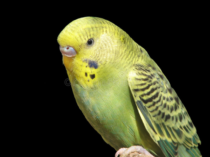 The Parrot royalty free stock photos