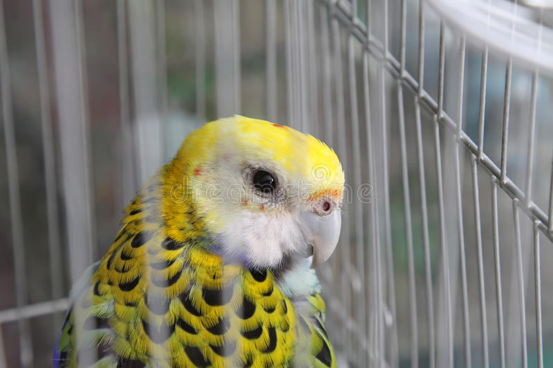 Parrot. Yellow parrot in the cage stock photography