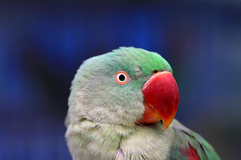 Parrot. Red mouth parrot looks very lovely royalty free stock image