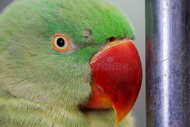 Parrot. Red mouth parrot looks very lovely royalty free stock images