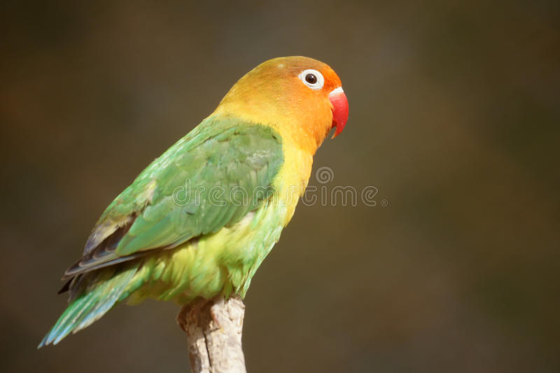 Parrot. A colorful parrot stands on top of branch royalty free stock photography