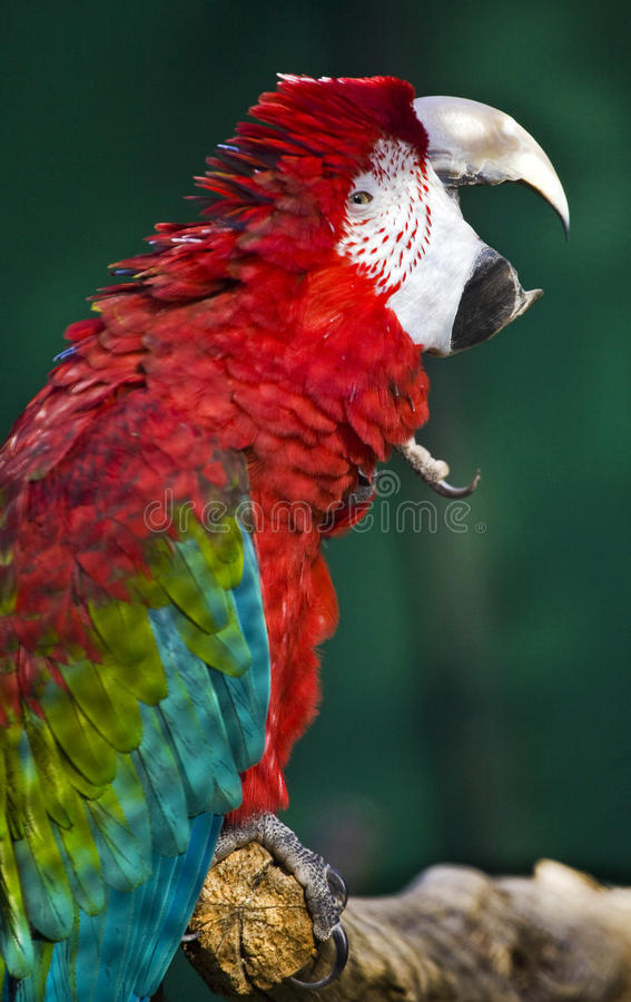 Download Parrot stock image. Image of colored, exotic, pretty - 27274687