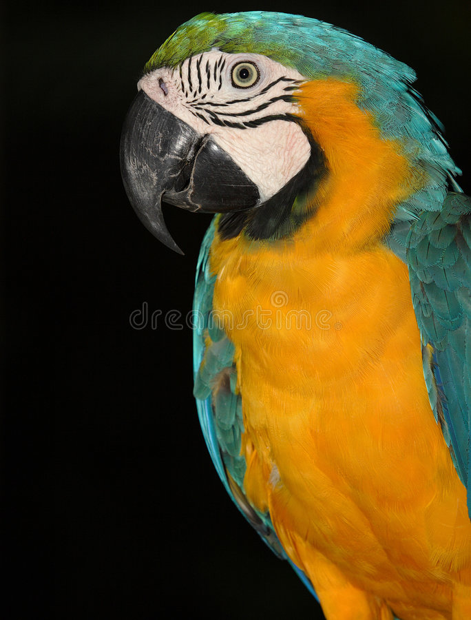 Download Parrot Royalty Free Stock Photo - Image: 2904365