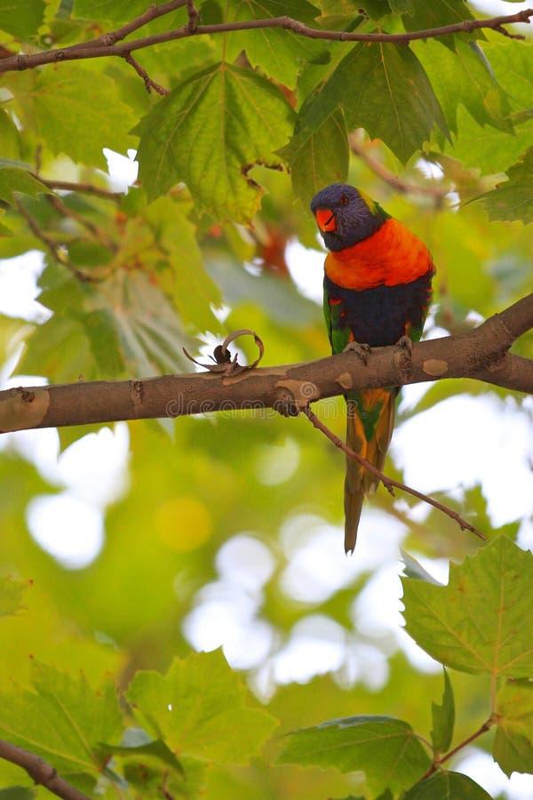 Download Parrot stock image. Image of black, rainbow, portrait - 29234655