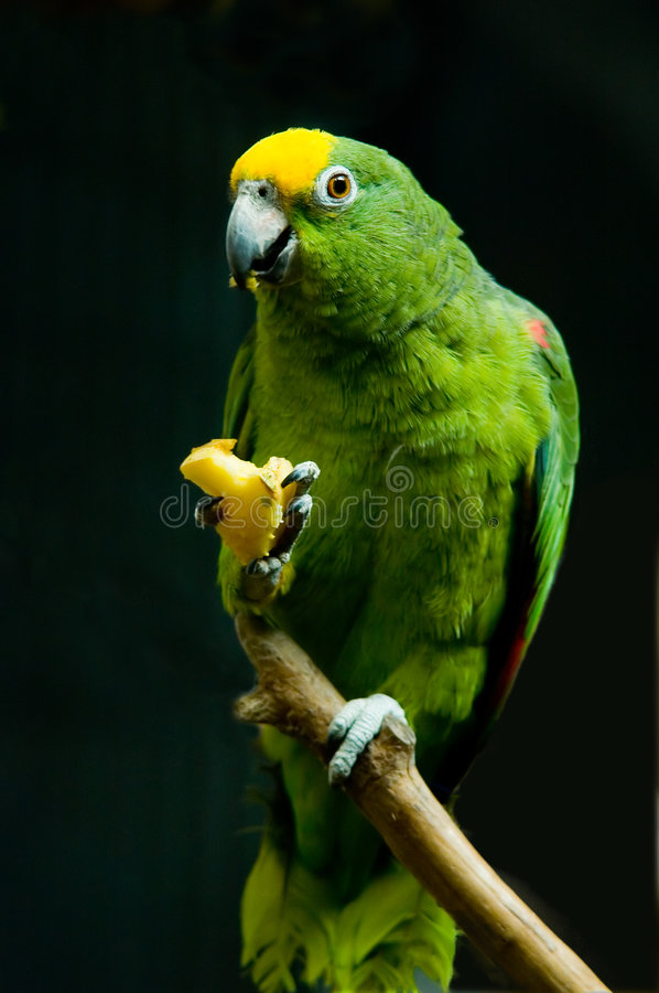 Download Parrot stock photo. Image of parrot, food, birds, eating - 4029242