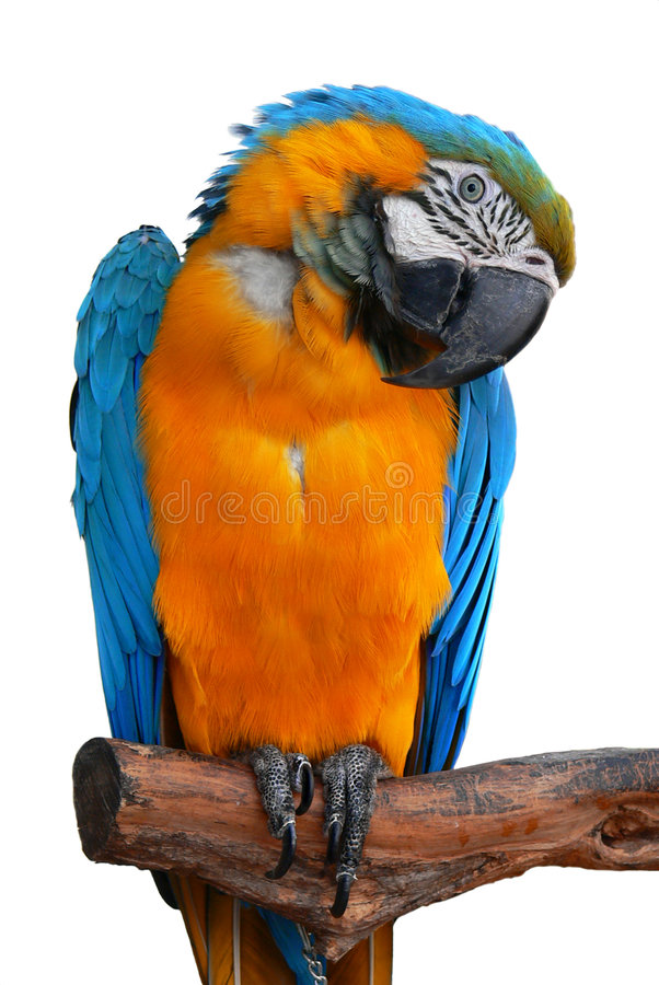 Download Parrot stock image. Image of intelligence, multi, parakeet - 7137185