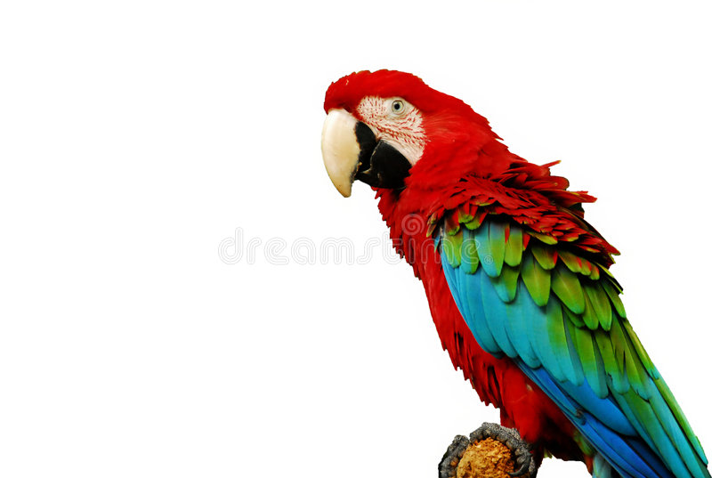 Parrot royalty free stock photography
