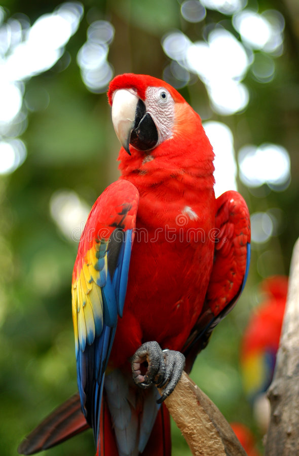 Parrot. Close up of exotic bird in Mexico
