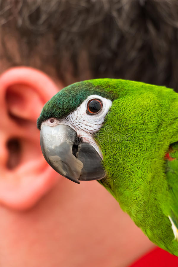 Free Parrot And The Human Ear Stock Photo - 36644670