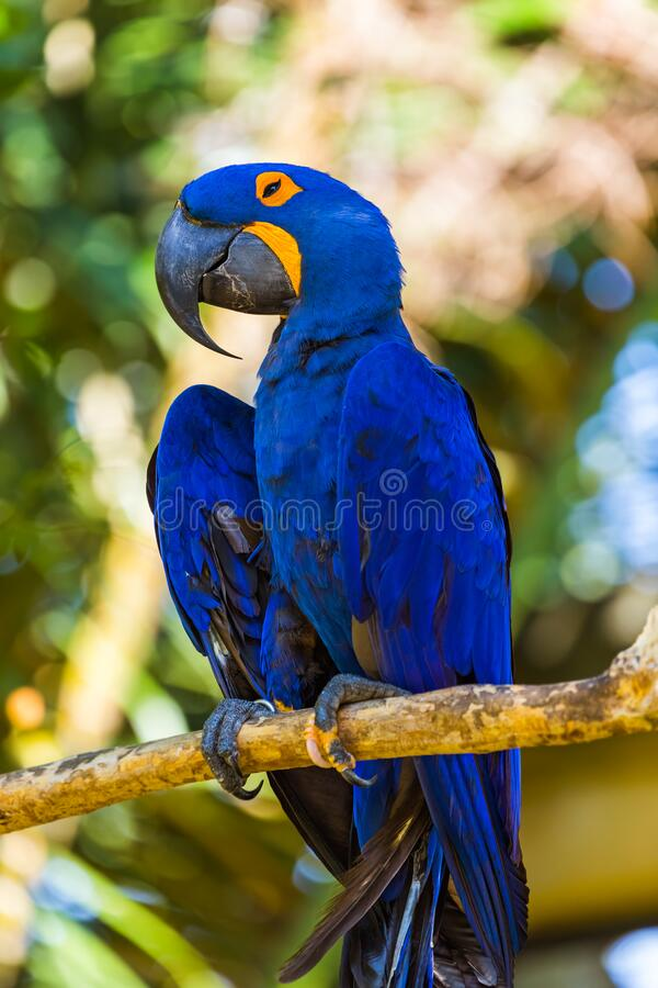 Parrot in Bali Island Indonesia. Nature background royalty free stock image