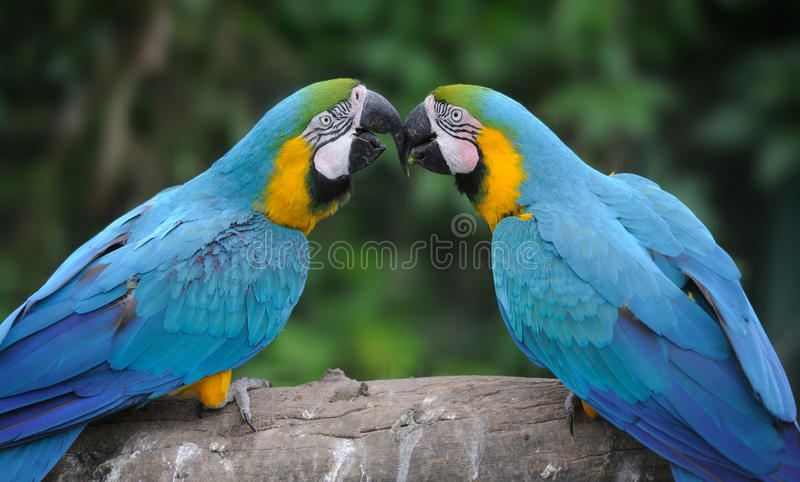 Parrot bird (Severe Macaw) stock image
