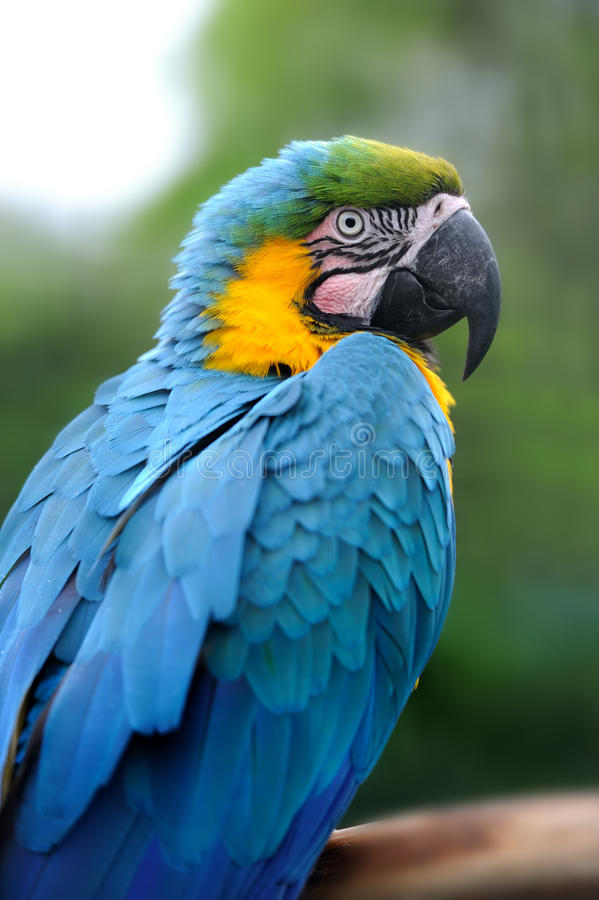 Parrot bird (Severe Macaw) royalty free stock images