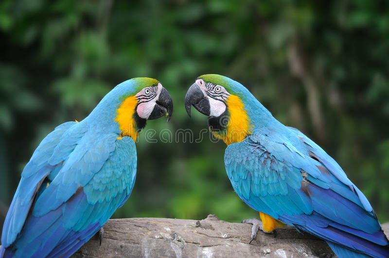 Parrot bird (Severe Macaw) royalty free stock photos