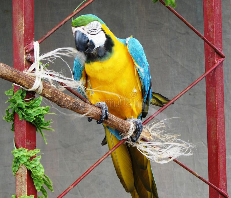 Parrot. A bird of tropical countries with bright and motley plumage royalty free stock images
