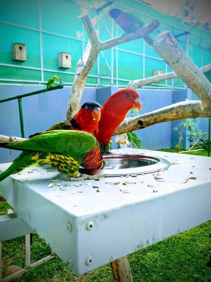 Parrots, also known as psittacines. royalty free stock image