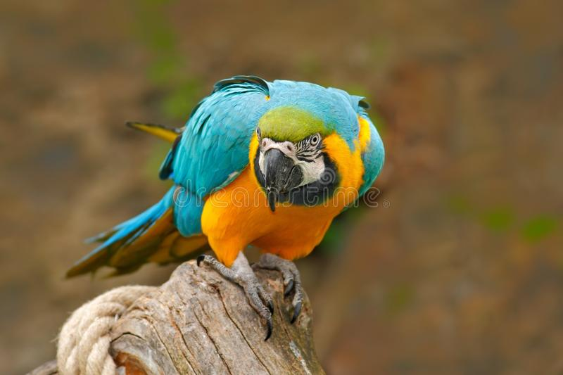 Parrot, blue-and-yellow macaw, Ara ararauna, also known as the blue-and-gold macaw, is a large South American parrot with blue top stock image