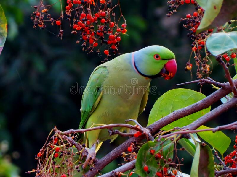 Parrot on branch royalty free stock images