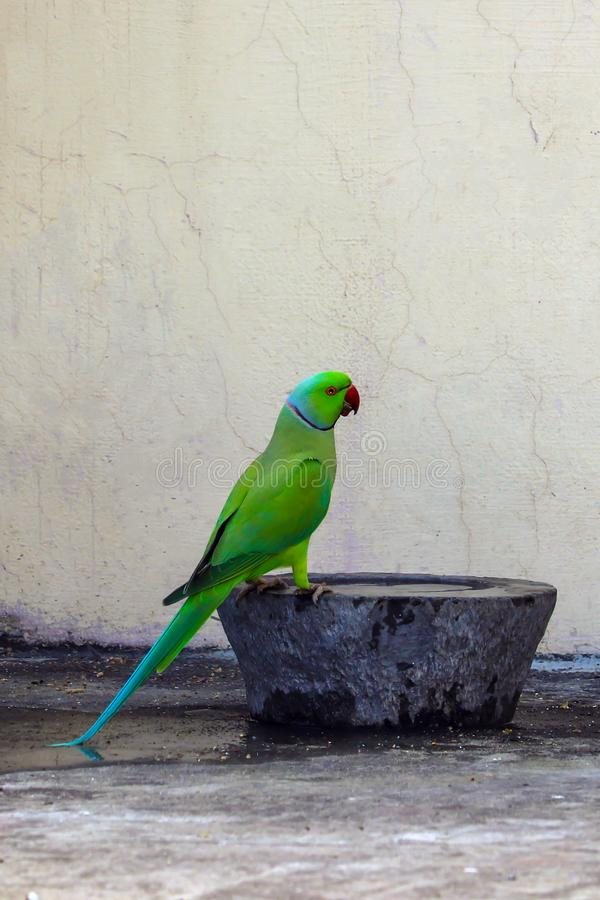 A Parrot came to Drink Water at my house. Roof top. Bird come at my home daily and I feed them on regular basis stock photography