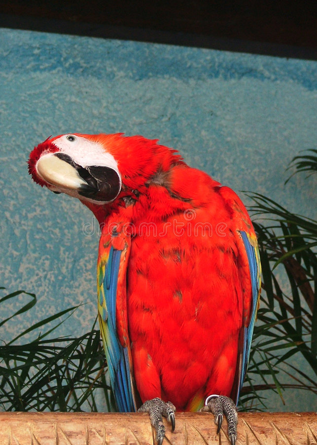 Parrot in cancun royalty free stock images