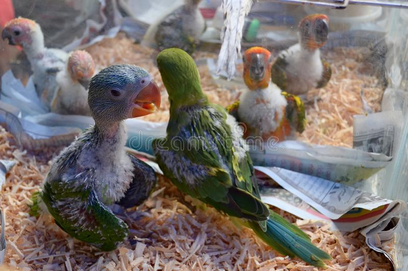 Parrot chicks in cage close-up stock photography