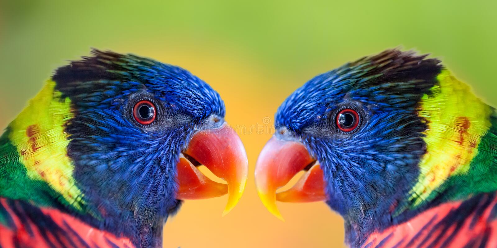 Parrot. Close up shot of two colourful parrots