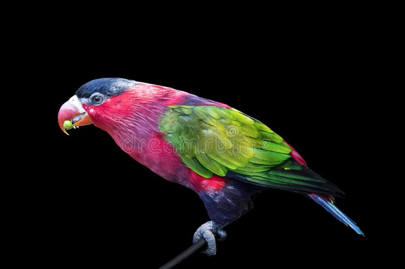Parrot, colorful bird wildlife isolated background,zoo tropical animal exotic stock photography