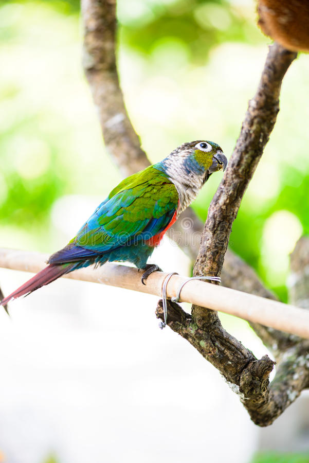 Parrot, Colorful parrot, Macaw Parrot, Colorful macaw. Parrot, Colorful parrot, Macaw Parrot, sun Conure, Colorful macaw royalty free stock images
