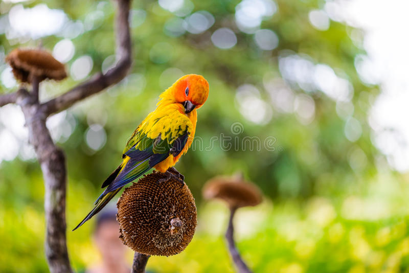 Parrot, Colorful parrot, Macaw Parrot, Colorful macaw. Parrot, Colorful parrot, Macaw Parrot, sun Conure, Colorful macaw royalty free stock photography