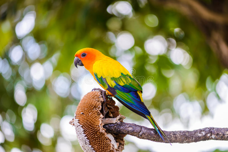 Parrot, Colorful parrot, Macaw Parrot, Colorful macaw. Parrot, Colorful parrot, Macaw Parrot, sun Conure, Colorful macaw royalty free stock photo