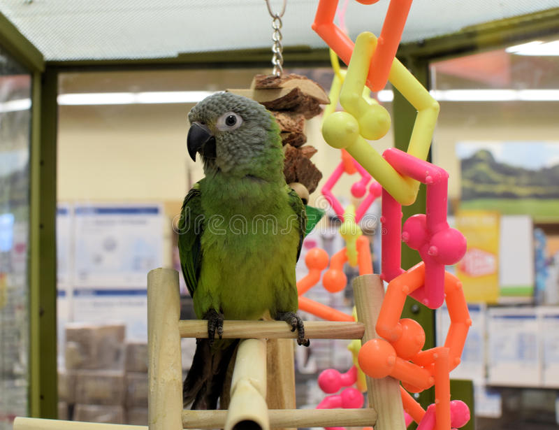Parrot with colorful toys royalty free stock image