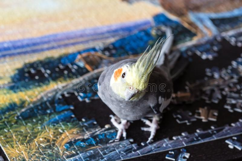 Parrot Corella Nymphicus hollandicus sitting on the puzzle pieces. Final of jigsaw puzzle game, top table game royalty free stock photo