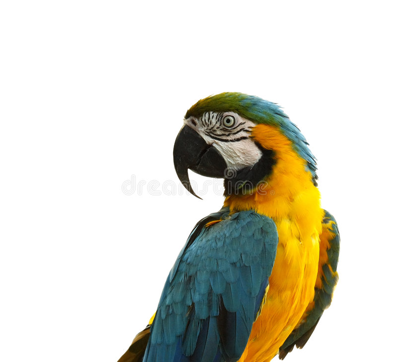 Parrot - curious looking yellow blue macaw stock photo