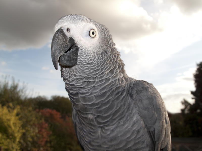 Parrot in Detail. African Grey Parrot with dramatic sky backdrop royalty free stock photography