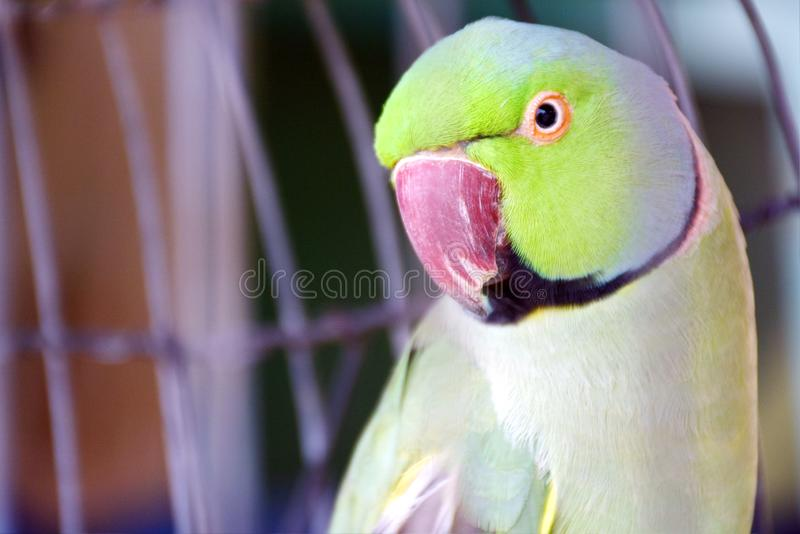 THE PARROT IS A DOMESTIC BIRD . Description: THE PARROT IS A DOMESTIC BIRD . THE PARROT CAN UNDER STAND HUMAN LANGUAGES .  THE GREEN COLOR IS SO MUCH MORE royalty free stock photos
