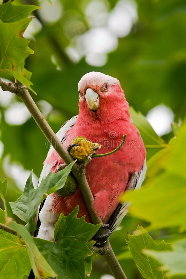 Free Parrot Eating Seeds Royalty Free Stock Photography - 4415077