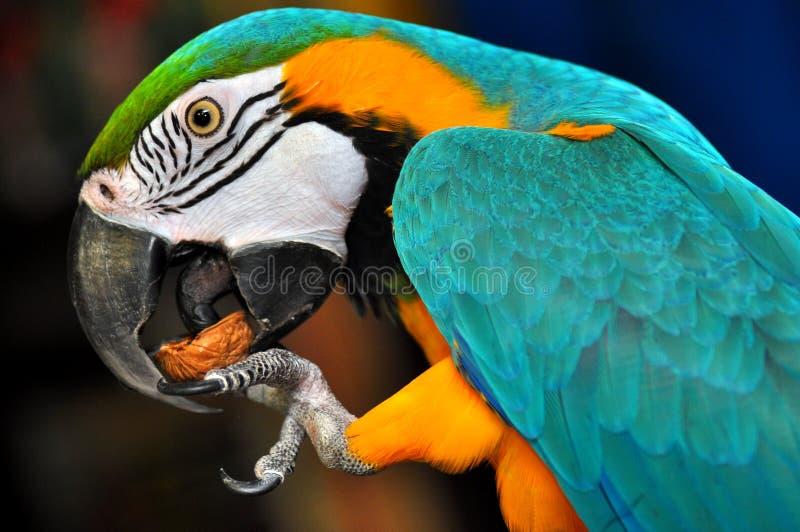 Parrot eats nut stock photos