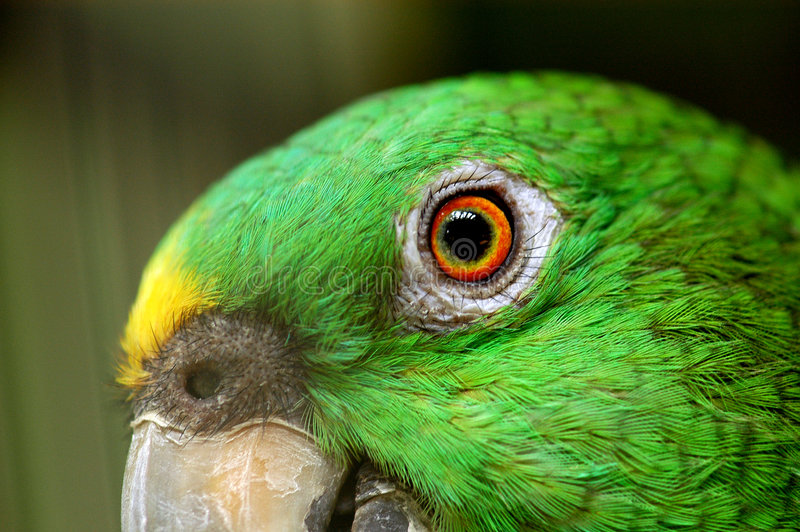 Parrot eye in the park royalty free stock images