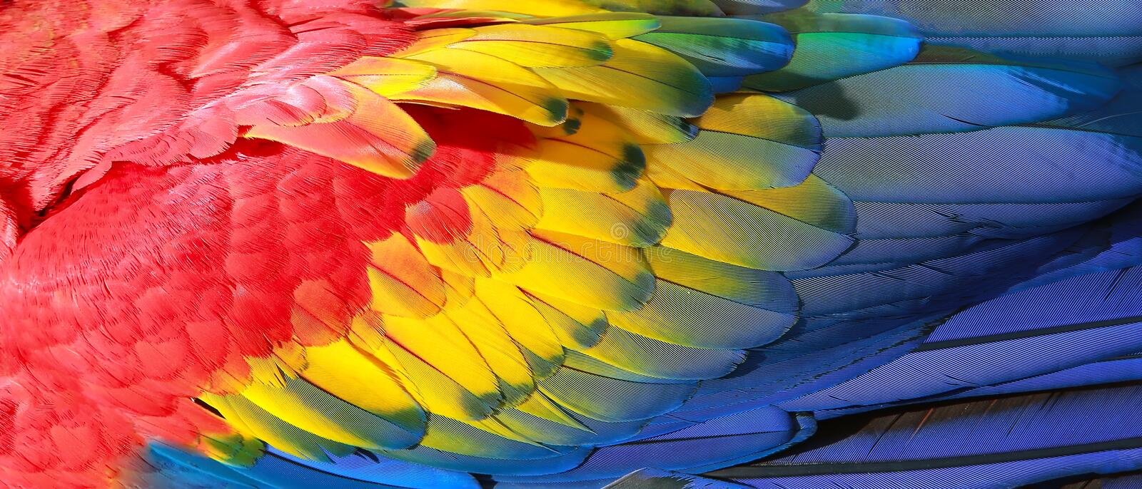 Parrot feathers. Red, yellow and blue exotic texture