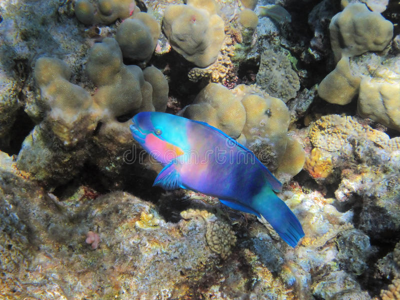 Parrot-fish on the coral reef royalty free stock photo