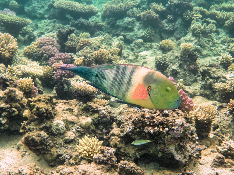Parrot fish. Red Sea. Egypt royalty free stock photography
