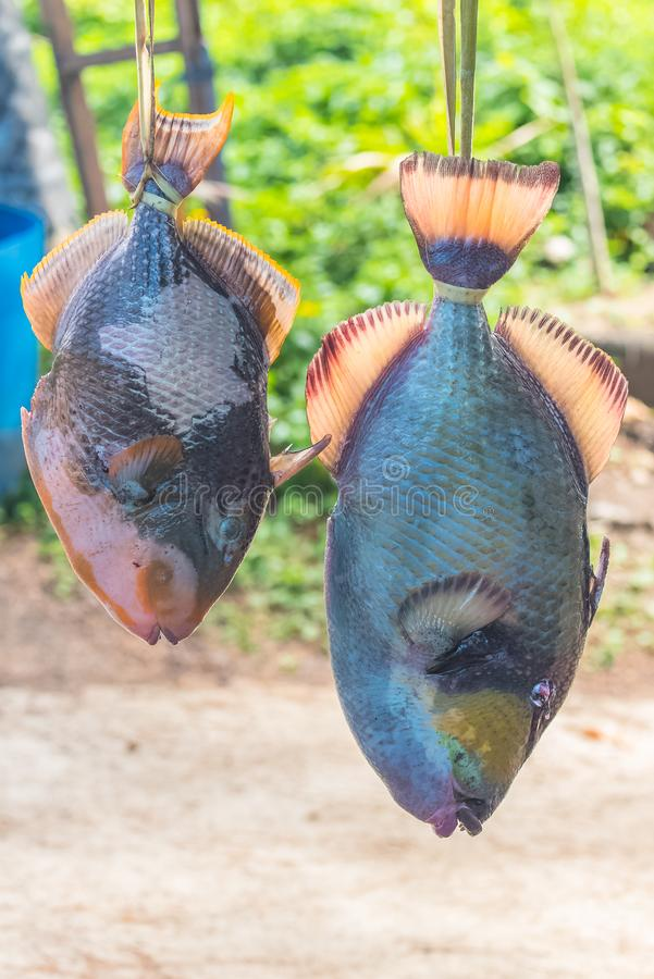 Parrot fish sold on the road royalty free stock photography