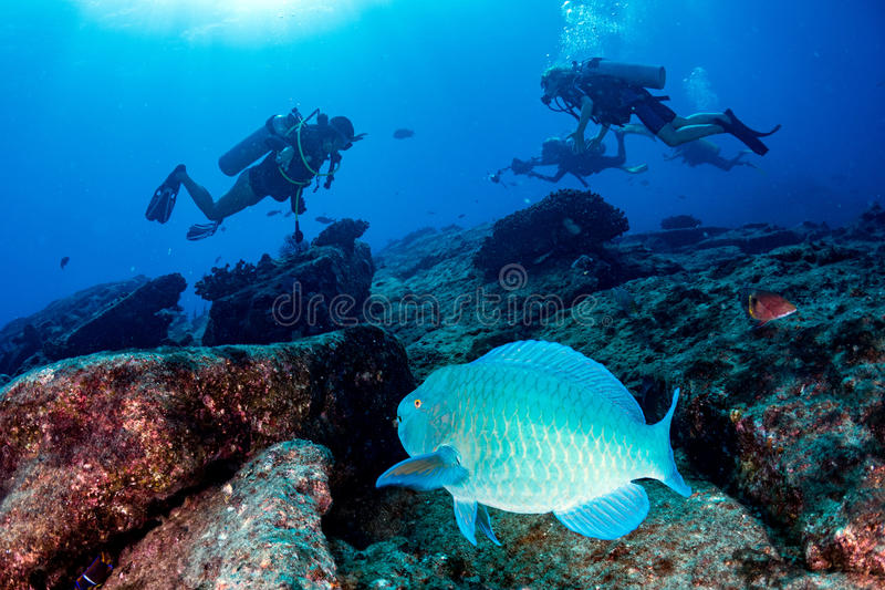 Parrot fish underwater in cabo pulmo mexico national park royalty free stock image