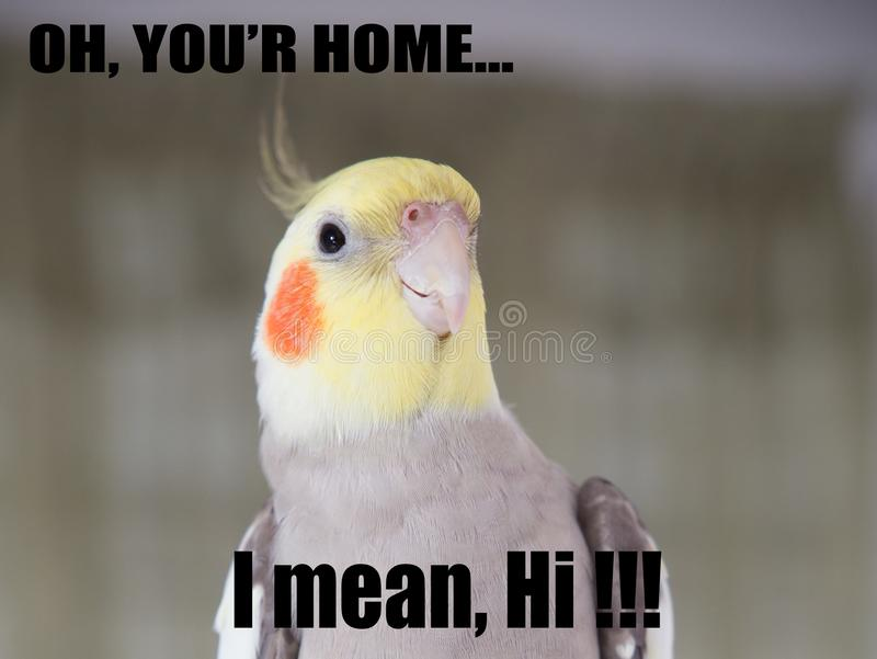 Parrot funny Quote Cockatiel Portrait, Cute memes, your home, I mean hi. props royalty free stock image